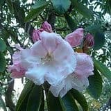 Rhododendron 'Loderi Fairy Queen' - Find Azleas,Camellias,Hydrangea and Rhododendrons at Loder Plants
